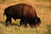 Bison Prints - Bison In Evening Light Print by Aidan Moran