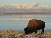Grazing Snow Prints - Bison In Front Of Snowy Mountains Print by Mathew Levine