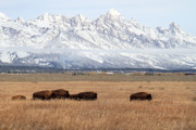Bison Photos - Bison in Grand Teton Natinoal Park by Pierre Leclerc