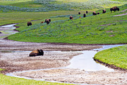Bison Prints - Bison in Hayden Valley Print by Adam Pender