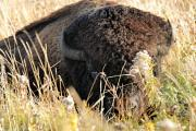 American Bison Prints - Bison in Hiding Print by Larry Ricker