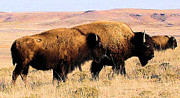 Bison Photos Posters - Bison in Kansas Poster by Cheryl Poland