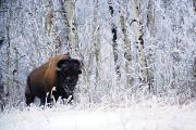 Natural Habitat Framed Prints - Bison In The Snow, Elk Island National Framed Print by Richard Wear