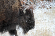 Bison Photos - Bison in the snow Yellowstone by Pierre Leclerc