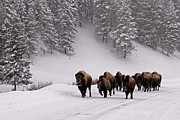 American Bison Acrylic Prints - Bison In Winter Acrylic Print by DBushue Photography