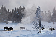 Bison Photos - Bison In Yellowstone Np by Greg Dimijian
