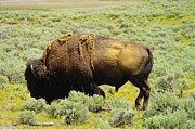 Bison Photos - Bison by Jeff  Swan