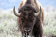 Wild Framed Prints - Bison  Framed Print by Joseph Rossi