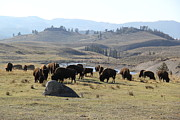 Bison Photos - Bison land Yellowstone National Park by Brad Scott