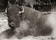 Patricia Bolgosano - Bison of Yellowstone