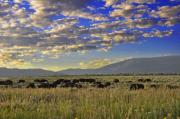 Bison On Antelope Flats Wy Print by Vijay Sharon Govender