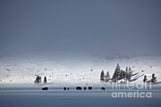 Bison Photos - Bison On Snowy Plains by Greg Dimijian