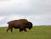 Bison Framed Prints - Bison on the American Prairie Framed Print by Olivier Le Queinec