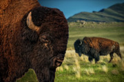 Bison On The Plain Print by Paul W Sharpe Aka Wizard of Wonders