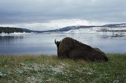 Bison Bison Photos - Bison Resting By Yellowstone River With by David Ponton