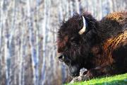Wild Animals Art - Bison by Richard Wear