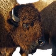Bison Photos - Bison by Ron  McGinnis