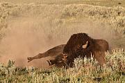 Bison Photos - Bison Rutting Around On Ground by Max Allen
