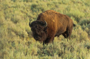Stalking Prints - Bison Print by Sebastian Musial