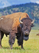 Bison Prints - Bison seen in Grand Tetons National Park in Wyoming Print by Matt Suess