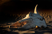 Bison Photos - Bison Skull by Heather Swan