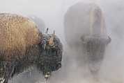 American Bison Prints - Bison Stand In Steam And Snow Print by Norbert Rosing