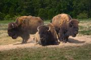 American Bison Prints - Bison Trio Print by Warren Sarle