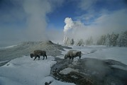 American Bison Prints - Bison Walking In Front Of Lion Geyser Print by Norbert Rosing
