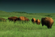 Bulls Posters - Bisons in the Prarie Poster by Iris Greenwell