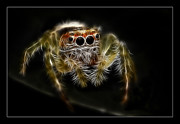 Jumping Spiders Prints - Bite me Print by Kevin Chippindall