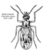 Biting Posters - Biting Midge Poster by Granger