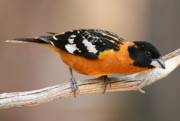 Buck Lovell - Blacheaded Grosbeak