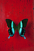 Black Wings Prints - Black and blue butterfly  Print by Garry Gay