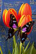 Colorful Tulips Prints - Black and Pink Butterfly Print by Garry Gay