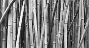 Black And White Photography - Black and White Bamboo by Quincy Dein - Printscapes