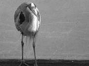 Great Blue Heron Black And White Posters - Black and White Blue Heron Poster by Jean Marshall