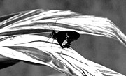 Wings Posters - Black and White Butterfly Poster by Aimee L Maher
