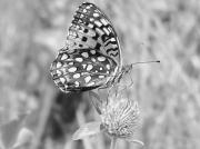 Checkerspot Posters - Black and White Butterfly on Clover Poster by Emily Michaud