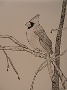 Cardinals Drawings - Black and White Cardinal by Anastasia Ely
