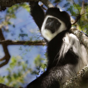 Black Leopard Prints - Black and White Colobus Monkey Print by Joseph G Holland
