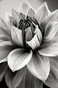 Black And White Floral Art - Black and White Dahlia by Danielle Miller