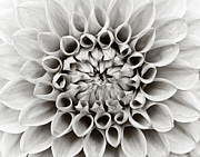 Flower Head Prints - Black And White Dalhia Print by Photo by Dean Forbes