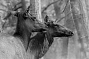 Bugel Prints - Black and White Elk Print by Steve McKinzie