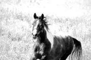 Paint Horse Posters - Black and White Poster by Emily Stauring