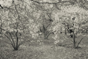 Cherry Blossom Prints - Black and White Flower Trees Print by Ariane Moshayedi