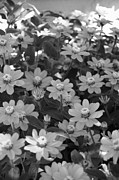 Black And White Flowers Print by Amy Fose