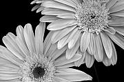 Macro Digital Art Framed Prints - Black and White Gerbera Daisies 1 Framed Print by Amy Fose