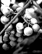 White Grape Prints - Black and White Grapes Print by Sally Bauer