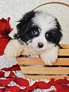 Havanese Framed Prints - Black And White Havanese Puppy Framed Print by StockImage