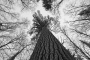 White Pines Posters - Black And White Image Of A Large White Poster by Robert Postma